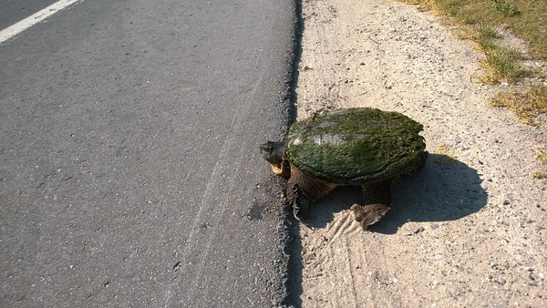 "A snapping turtle avoids a ""Grapes of Wrath"" style death near M-22 in Northport. Photo by Don Montie."