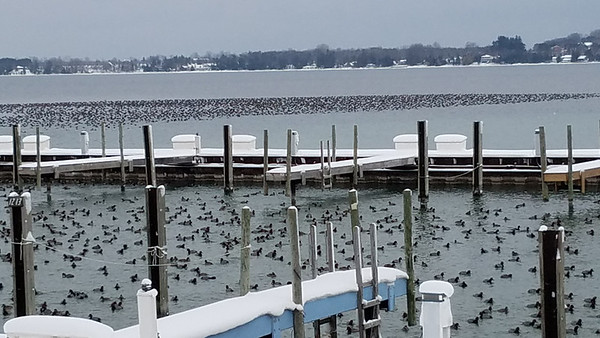 Hundreds and hundreds of ducks gather in Suttons Bay preparing for a winter storm. Photo by RJ Loeher.