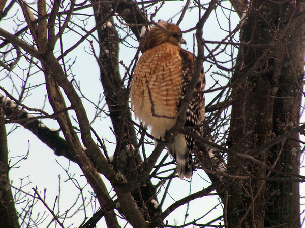 A Cooper's hawk perches and hunts near an East Bay Township home. Photo by Kim Berle.