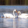 A family of swans swim near Torch Lake. Photo by Loretta Grobe.