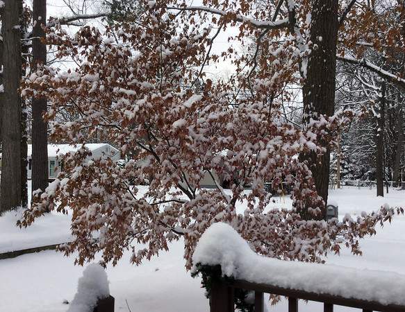 A little red maple still had leaves when the first load of snow fell. Photo by Cheryl K. Gerschbacher.