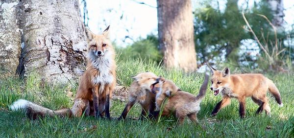 Foxes play near the Neahtawanta Inn on Old Mission Peninsula. Photo by Daniel Plasman.
