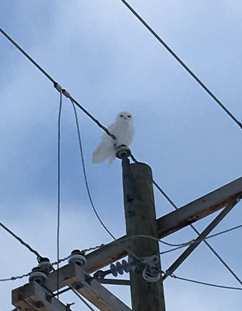 A snowy owl perches in Kewadin. Photo by Sara Blessing.
