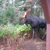 A close encounter with a moose at Isle Royale National Park in late September. Photo by Rick MacKinnon.