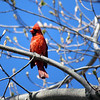 A cardinal perches on a branch in Charlevoix. Photo by Edward Buday.
