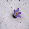 A crocus in the snow on Lincoln Street. Photo by Connie Fasel.