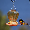 A Baltimore oriole perches on a feeder. Photo by Mary Taylor.