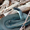 The Snake and the Fly: Michigan Blue Racer. North Country Trail. Photo by Chris Fulton.