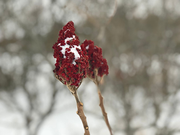 Sumac in the snow. Photo by Meg Benner.
