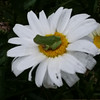 A tiny frog sitting on a Shasta daisy in our flowered garden. Photo by Kathie Riess.
