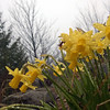 A group of yellow jonquil covered in raindrops. Photo by Don Montie.
