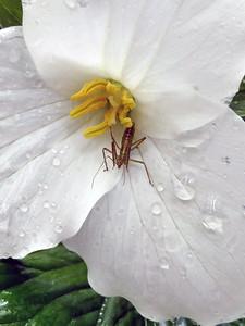 Interesting bug in a trillium. Photo by Nicole McCalpin.