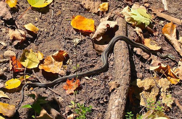 tcrGOeyes snake 1019