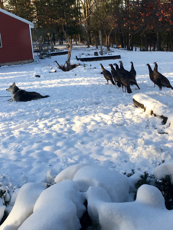 Old dog Sadi did not know turkeys were behind her. Photo by Sue Gates.