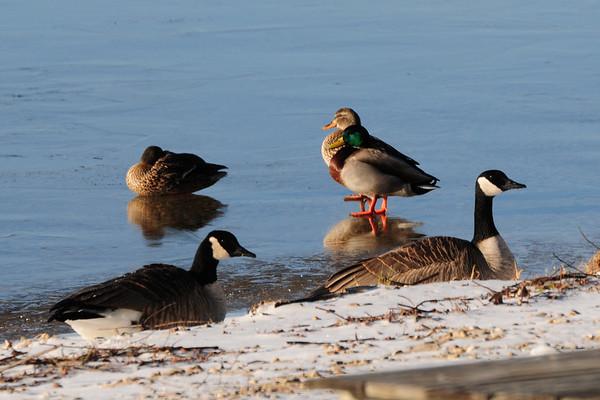 Ducks perch on thin ice on Torch Lake. Photo by Lynne Agar.