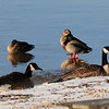 Ducks perch on thin ice on Torch Lake. Photo by Lynne Agar.