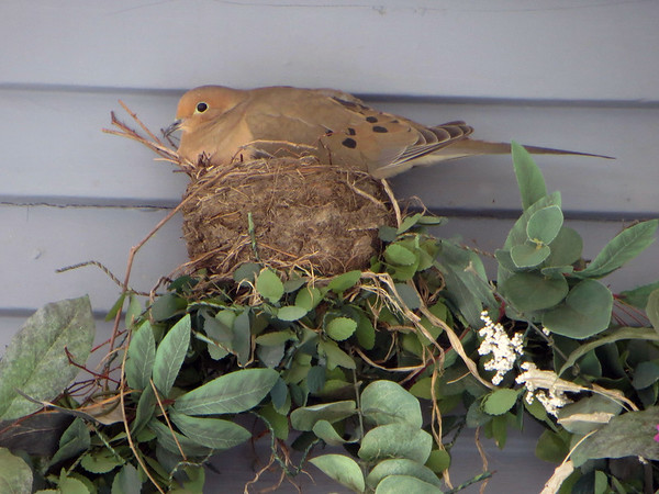 Nesting dove. Photo by Jan Cleland.