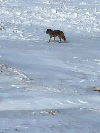 A coyote off Bayshore Drive in Elk Rapids on the beach. Photo by Kim Morrison.