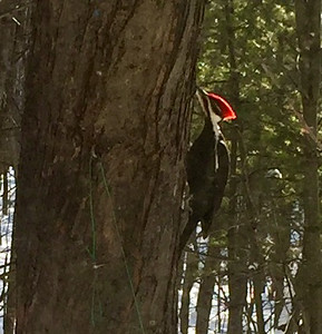 A pileated woodpecker finds a tasty treat. Photo by Jan Zolik.