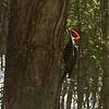 A pileated woodpecker finds a tasty treat. Photo by Jan Zolik.