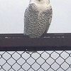 A snow owl trespasses on airport property. Photo by Darry Rosinski.