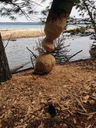 "Beaver ""art"" in the Sleeping Bear Dunes National Lakeshore. Photo by Chuck Bond."