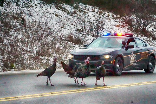 A sheriff's deputy stops traffic to escort a flock of turkeys across M-72 near Turle Creek Casino. Photo by Phil Robinson.