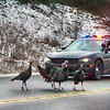 A sheriff's deputy stops traffic to escort a flock of turkeys across M-72 near Turle Creek Casino. Photo by Phil Robinson.