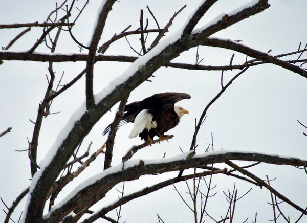 An American bald eagle lifts off from a tree. Photo by Cathy McKinley.