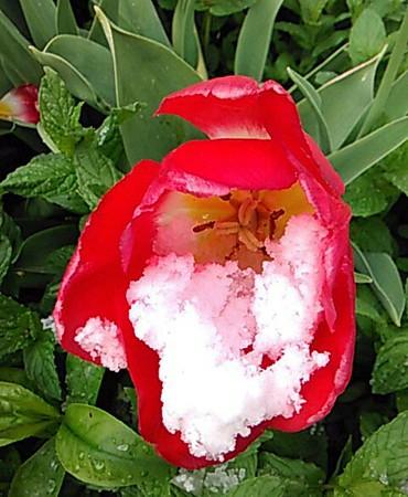 tcrGOeyes 0517 tulip