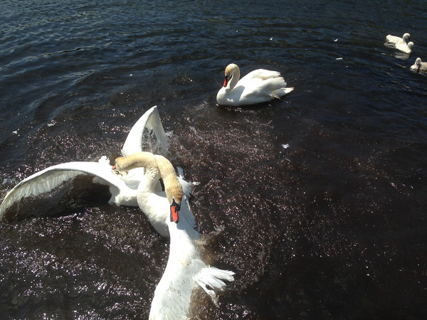 Two male swans fight over a female swan near a family dock on Green River in Central Lake. Photo by Dennis Thier.