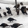 About 30 turkeys gathered for a March meal. Photo by Don Montie.