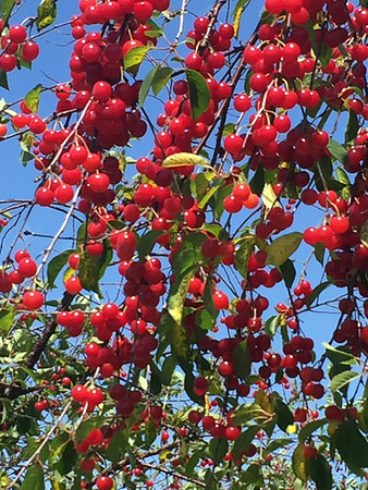 Cherry trees in July were heavy with fruit. Photo by Camille Lievense.