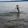 Dodger was so happy to be back in Torch Lake, he tried to walk on the water. Photo by Robert Blood.