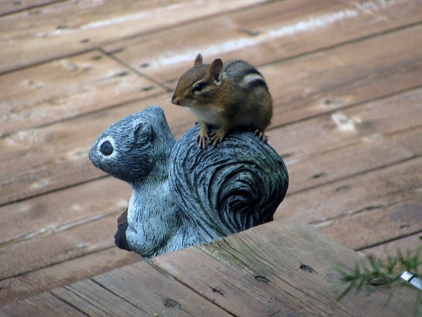 A cheeky chipmunk rides a squirrel in Elmwood Township. Photo by Don Thomas.