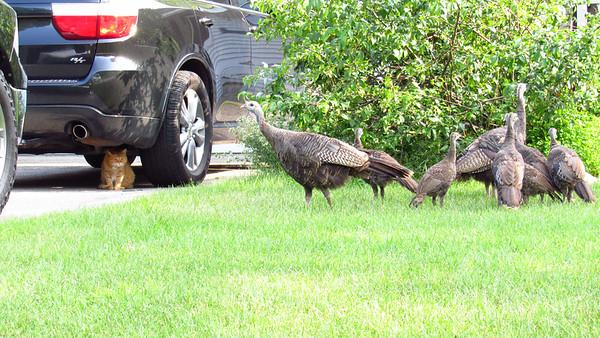 A cat stalks a flock of turkeys. Photo by Michael Novak.