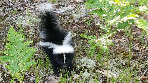 A curious baby skunk says hello. Photo by Kevin Grochowalski.