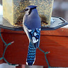 A hungry Blue Jay perches on a bird feeer. Photo <br /> by Karen Farrell.