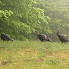Three turkeys strut in the rain. Photo by Gary Kent Keyes.