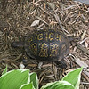 An Eastern Box Turtle on Old Mission Peninsula. Photo by Don Conway.