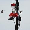 tcrGOeyes hummingbird 0817