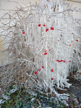 An ice-coated berry bush in Acme Township. Photo by Tina Reed.
