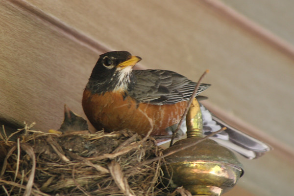 A mother robin perches on her nest to visit her children. Photo by Jim Gilson.