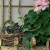 Baby robins wait for their mother to return with a snack. Photo by Carla S. Wood.