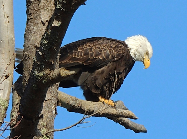 An American Bald eagle perches on a Bingham Township branch. Photo by Cathy McKinley.