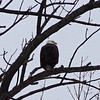 A bald eagle perches on M-22 near Crain Hill Road. Photo by Cathy McKinley.