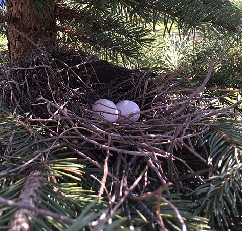 A pair of eggs incubate in a nest built in an 11th Street backyard. Photo by Liz Warren.