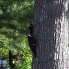 Pileated woodpeckers in an oak tree south of Interlochen. Photo by Greg and Mary Jo Surma.