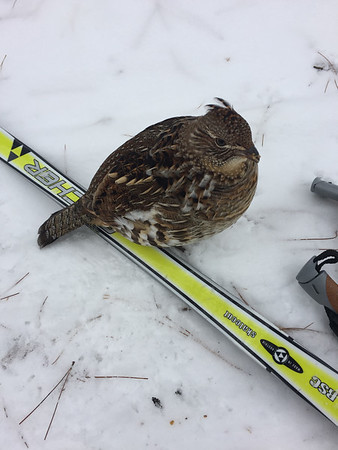 "Groomers of the 10-kilometer Vasa trail have nicknamed this grouse ""10K"" because he greets and mingles with skiers on the trail. Photo by Becky Kalajian."