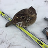 """Groomers of the 10-kilometer Vasa trail have nicknamed this grouse """"10K"""" because he greets and mingles with skiers on the trail. Photo by Becky Kalajian."""